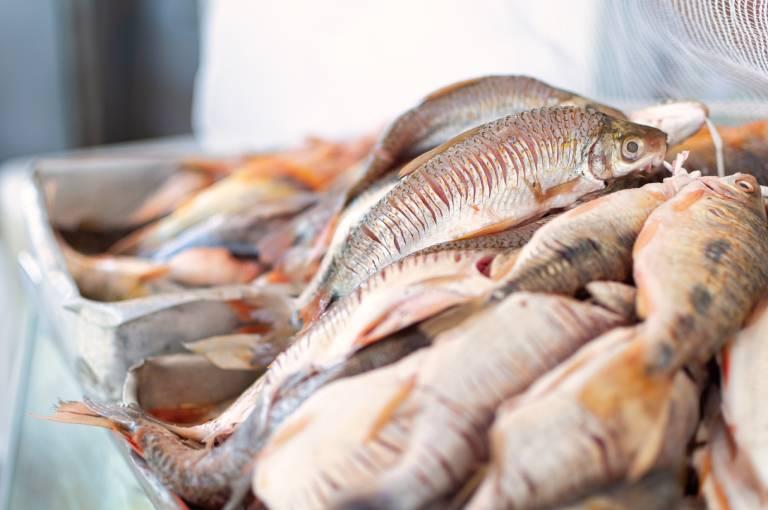 O Rio São Francisco e sua influência no Mercado do Peixe